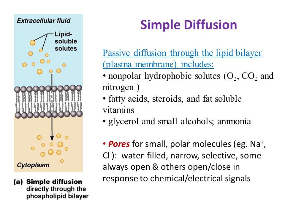 plasma membrane and its importance in Plasma membrane consists of a phospholipid bilayer studded with proteins, polysaccharides, lipids the lipid bilayer is semipermeable regulates passage of substances.