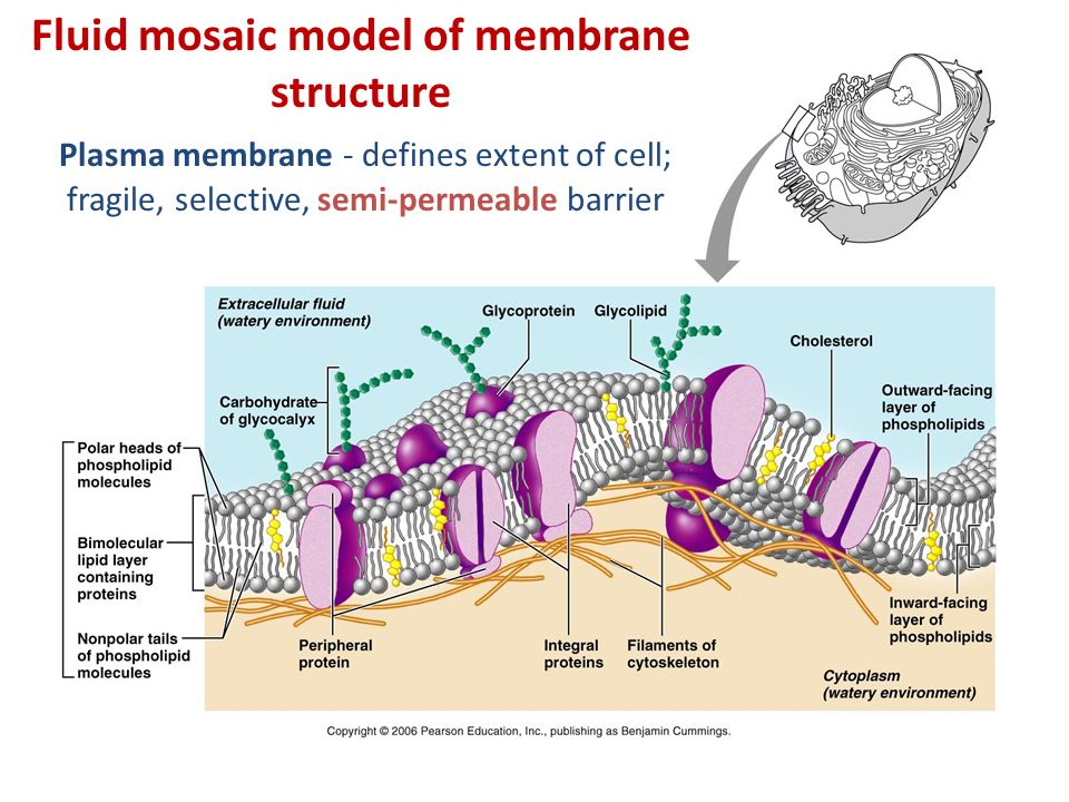 Topic 1 the plasma membrane cellular transport ppt video online fluid mosaic model of membrane structure ccuart Image collections