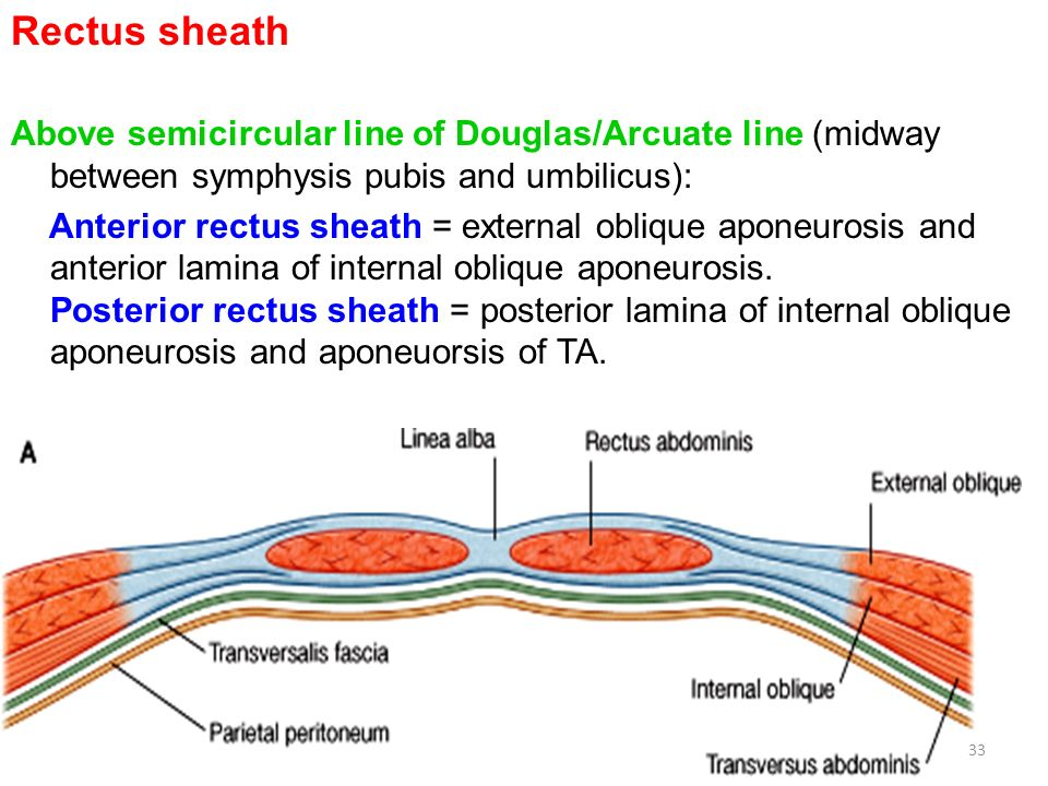 rectus sheath diagram anterior abdominal wall (irs) - ppt video online download