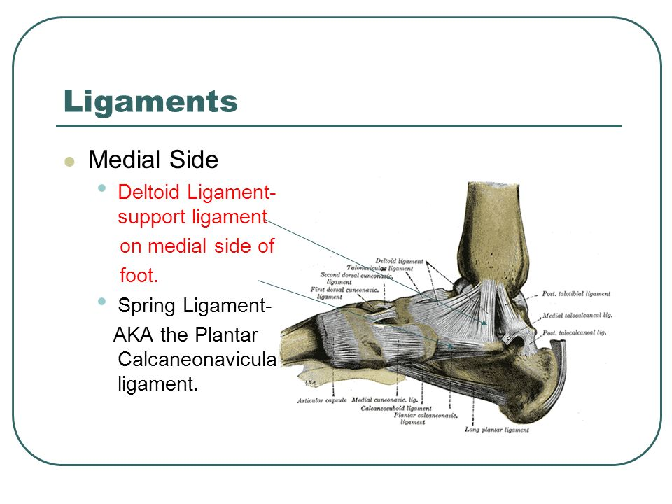 Ankle Joint The tibia and the fibula go from the knee to ...