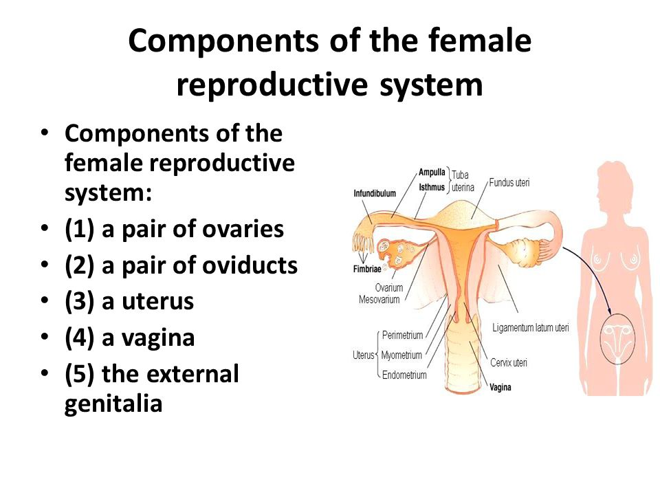 Female Reproductive Anatomy External