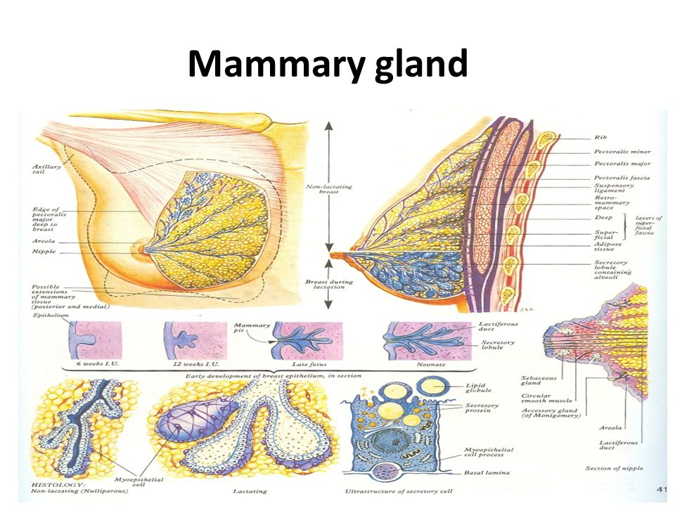 Anatomy of mammary gland