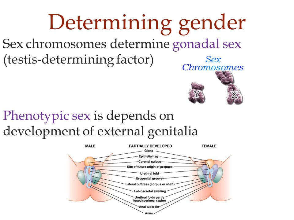sex determination In humans, biological sex is determined by a specific set of chromosomes chromosomes are long, threadlike structures of dna that.