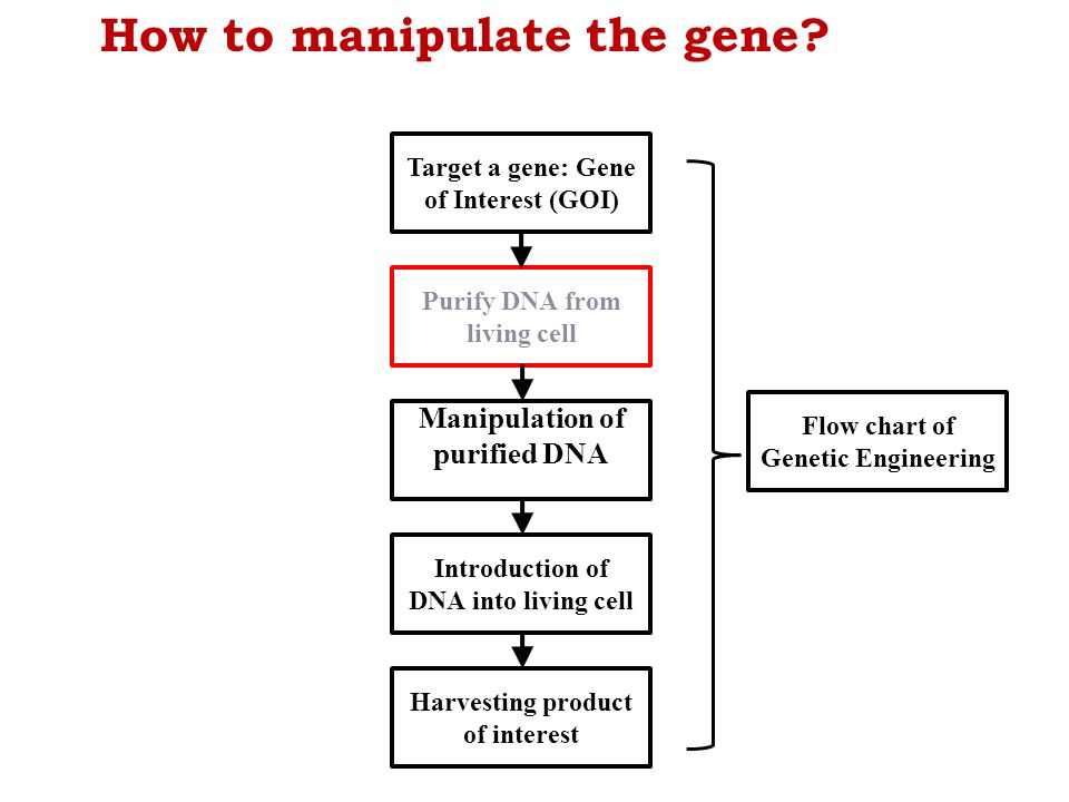 Bte 204 fundamentals of genetic engineering ppt video online download how to manipulate the gene ccuart Gallery