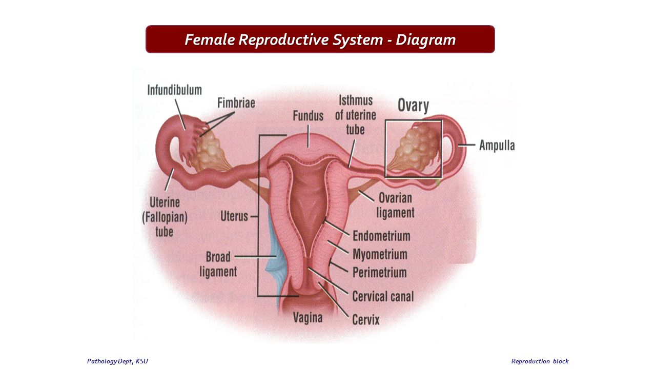 2nd practical session female genital system pathology dept ksu 3 female reproductive system diagram ccuart Gallery