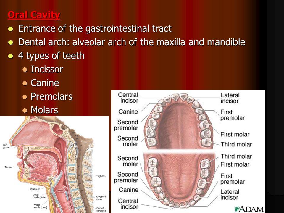 Central incisor anatomy 6324963 - follow4more.info
