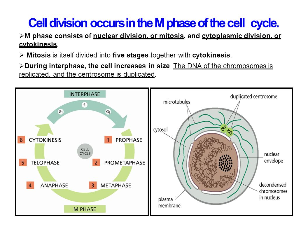 Cell biology cell division ppt video online download 17 cell pooptronica Gallery