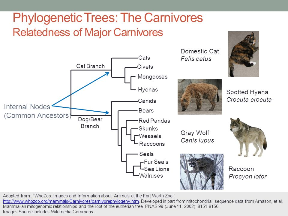Common Ancestor For Cats And Dogs