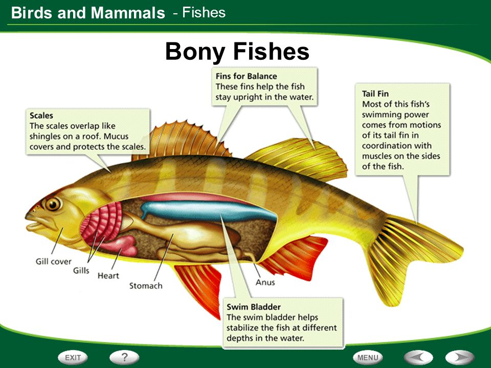 Types of bony fish pictures to pin on pinterest pinsdaddy for Types of bony fish