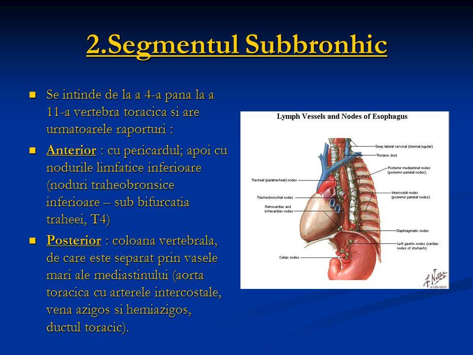 2.Segmentul SubbronhicSe intinde de la a 4-a pana la a 11-a vertebra toracica si are urmatoarele raporturi :