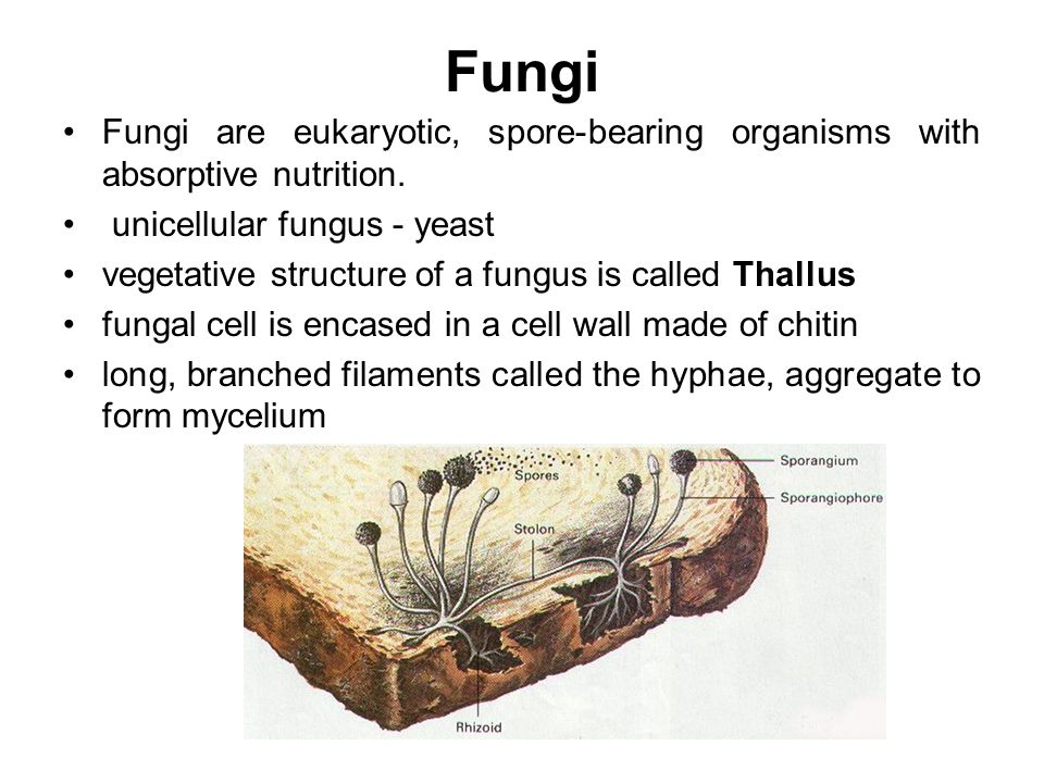 Phaeophyta asexual reproduction in fungi