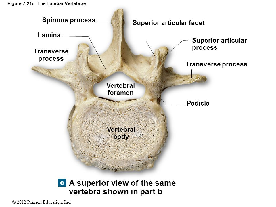 Modern Anatomy Of The Lumbar Vertebrae Pictures - Human Anatomy ...