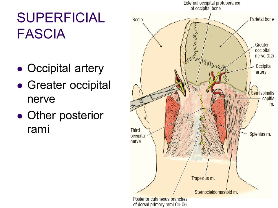 Occipital Artery Introduction of...