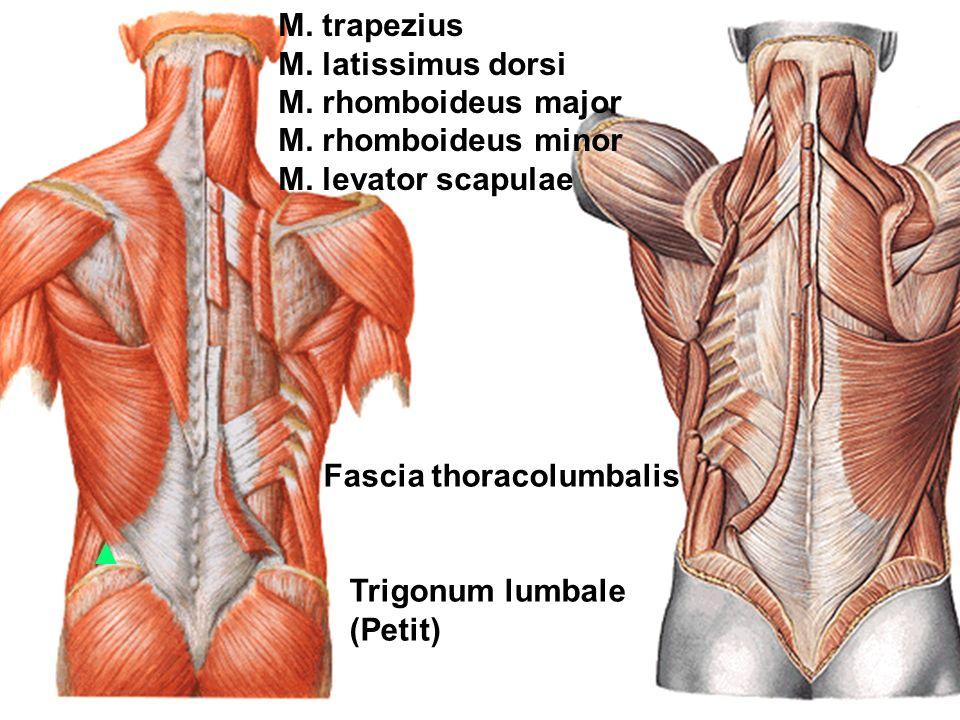 regional anatomy of the back