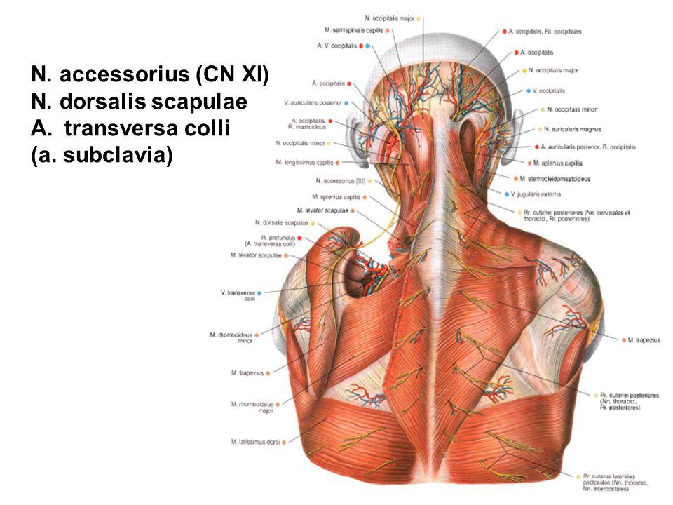 Tolle Anatomie Subclavia Fotos - Menschliche Anatomie Bilder ...