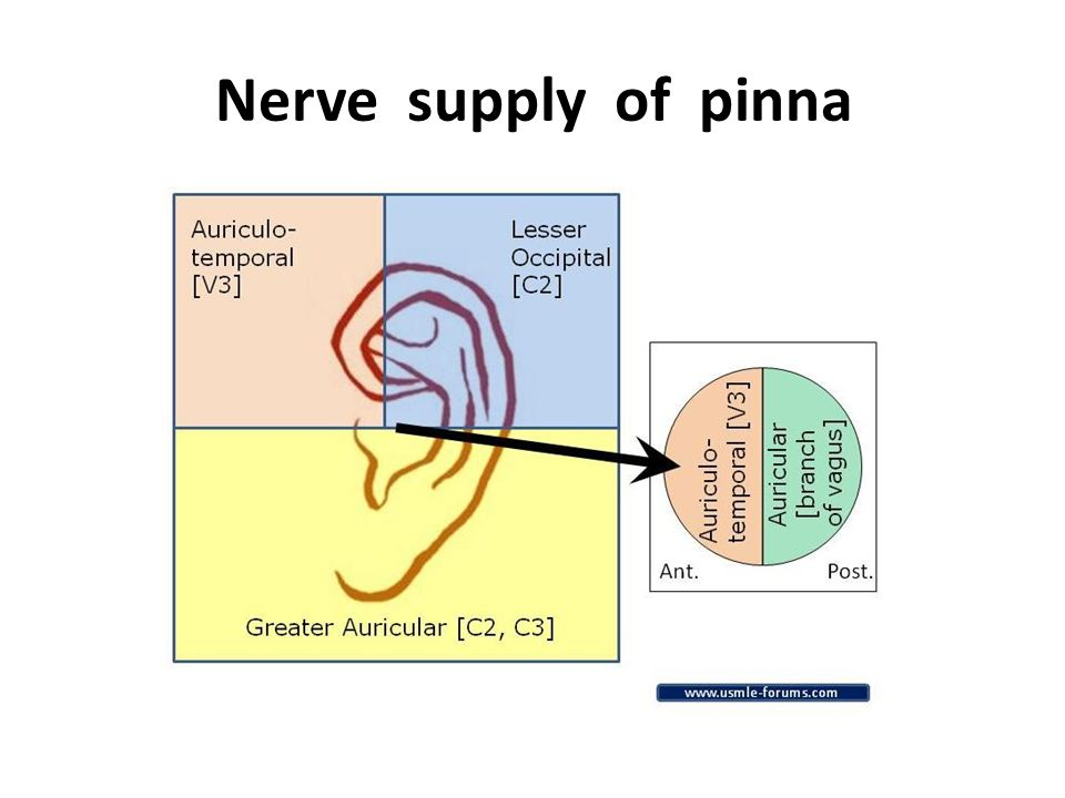 Sensory Innervation Of The Pinna - Wiring Source •