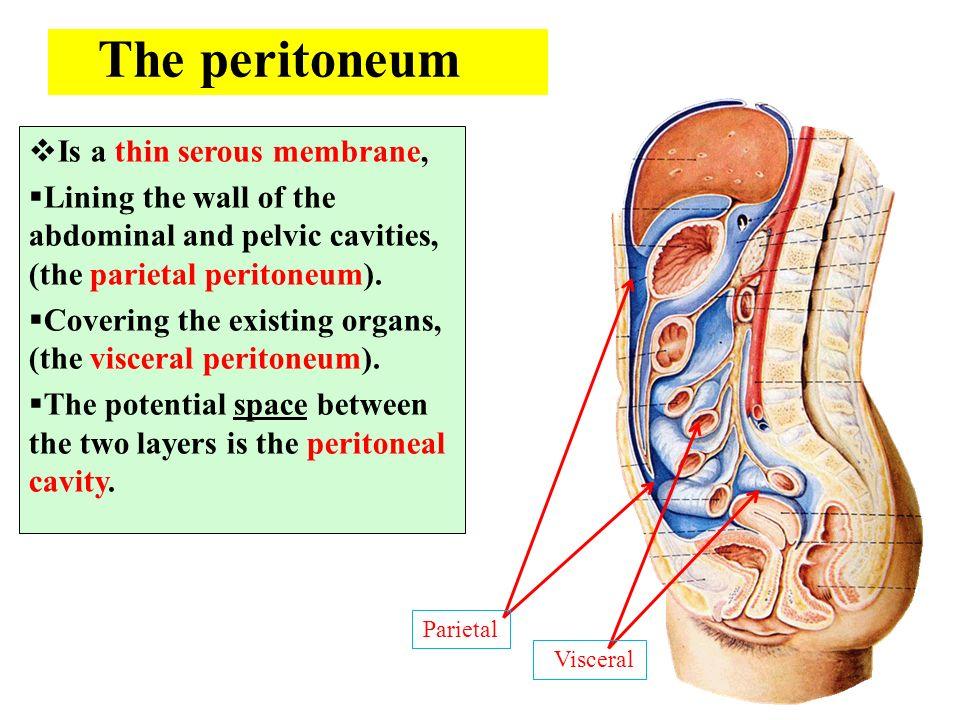 anatomy department dr.sanaa al-shaarawy dr. essam eldin ... viscual peritial perineum diagram