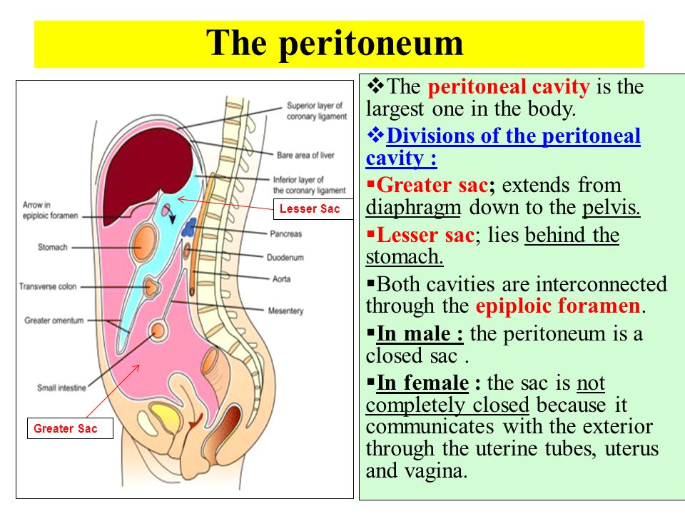 Body Cavities Diagram in addition Truth About Dentist Mercury Fillings also Embrology Of The Respiratory System likewise Microbes And Us moreover Organs In The Four Quadrants Unit 1 Chapter 1 Objectives Studyblue. on 9 of the body cavities