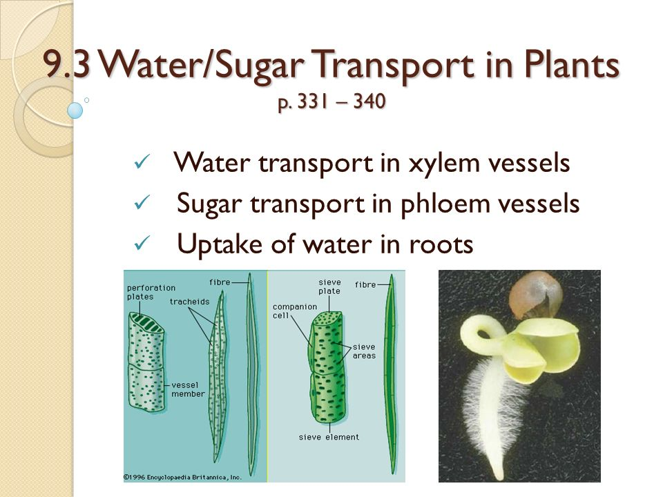 water transport in plants ~ transpiration is the way water vapor is lost through a plant's leaves, and is also the major force in the transport of water in plants.