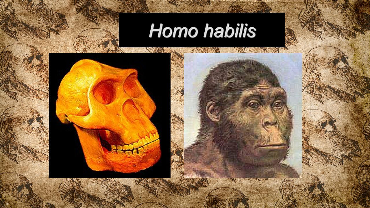essay on homo habilis Early human culture region of ethiopia, simple tools of this kind were first discovered by mary and louis leakey associated with homo habilis at olduvai gorge in tanzania hence, they were named oldowan tools after that location these.