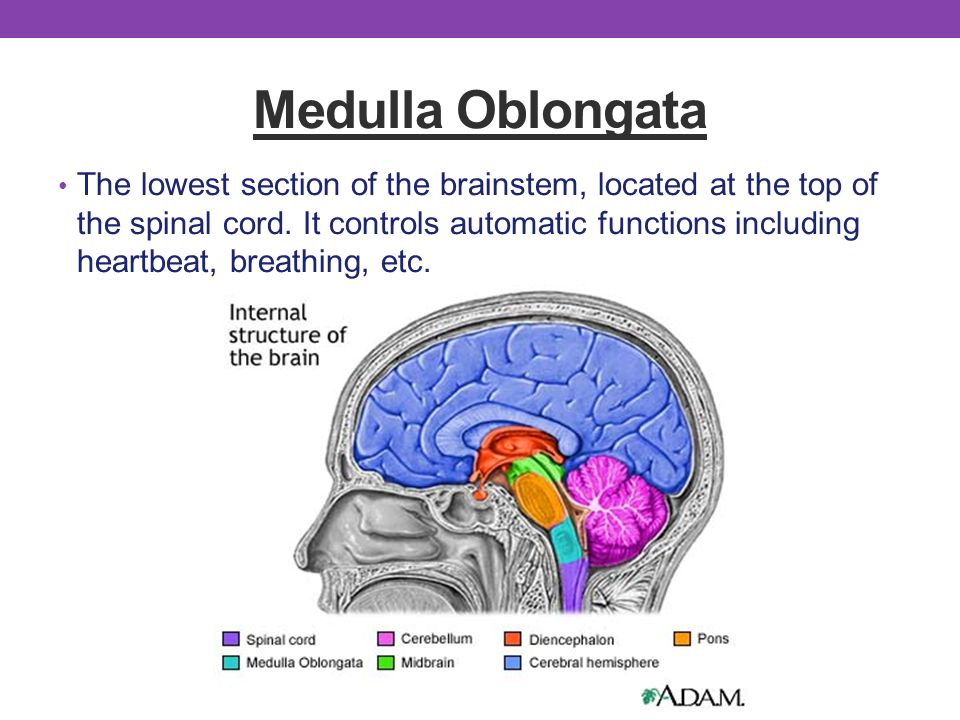 medulla oblongata function and location The medullary pyramids are pyramid-shaped areas in an organ what is the function of the medulla what are the different parts of the medulla oblongata.