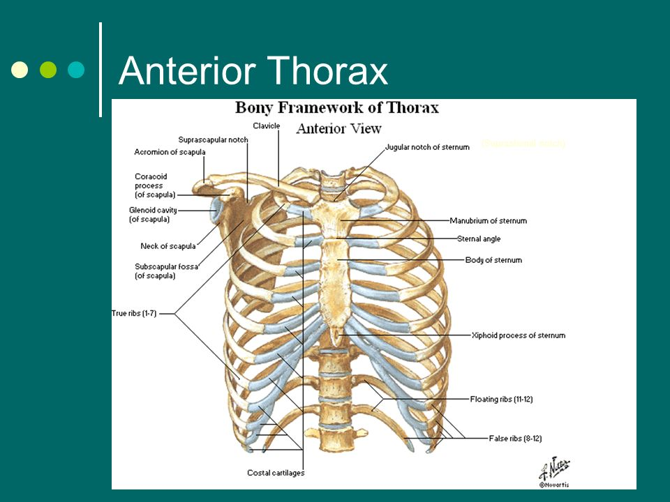 thorax and lungs by innakorda. - ppt video online download, Human Body