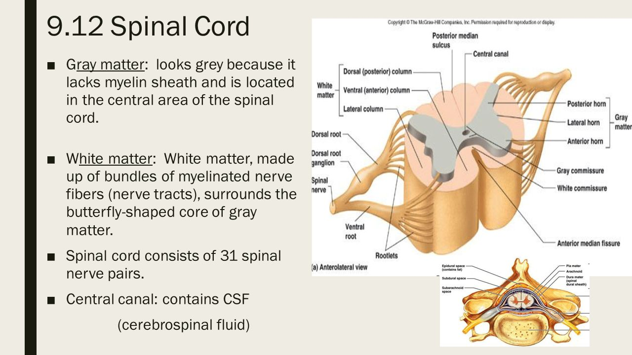 9.12 Spinal Cord Gray matter: looks grey because it lacks myelin sheath and  is located