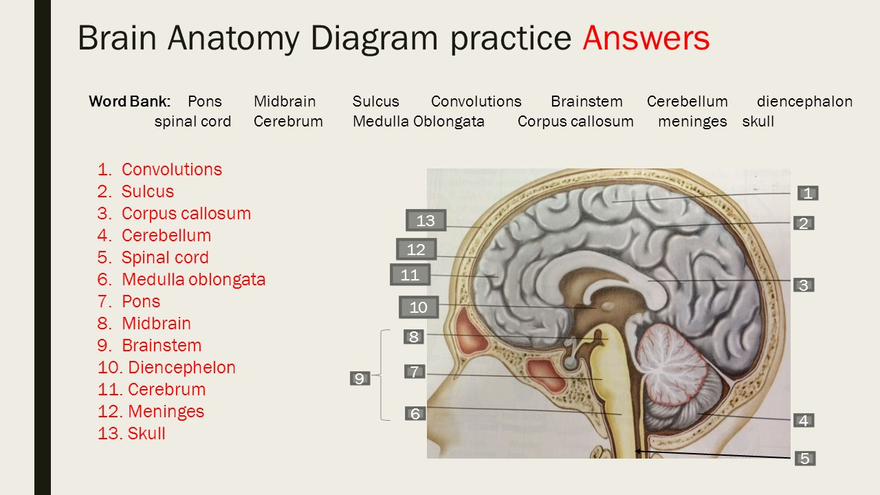 Opening assignment review of ch 9 part 1 ppt video online download brain anatomy diagram practice answers ccuart Images