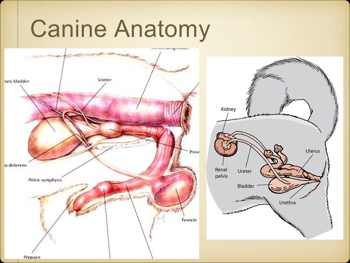 Dog Anatomy Kidney Location Pictures to pin on Pinterest