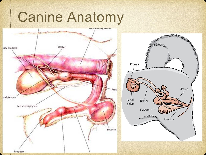 Female cat anatomy