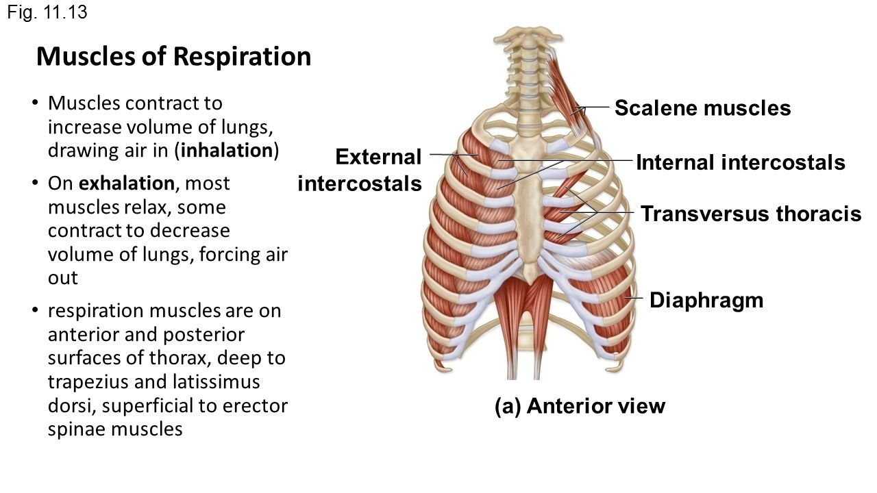 chapter 11 part 2 muscles of the head and neck ppt