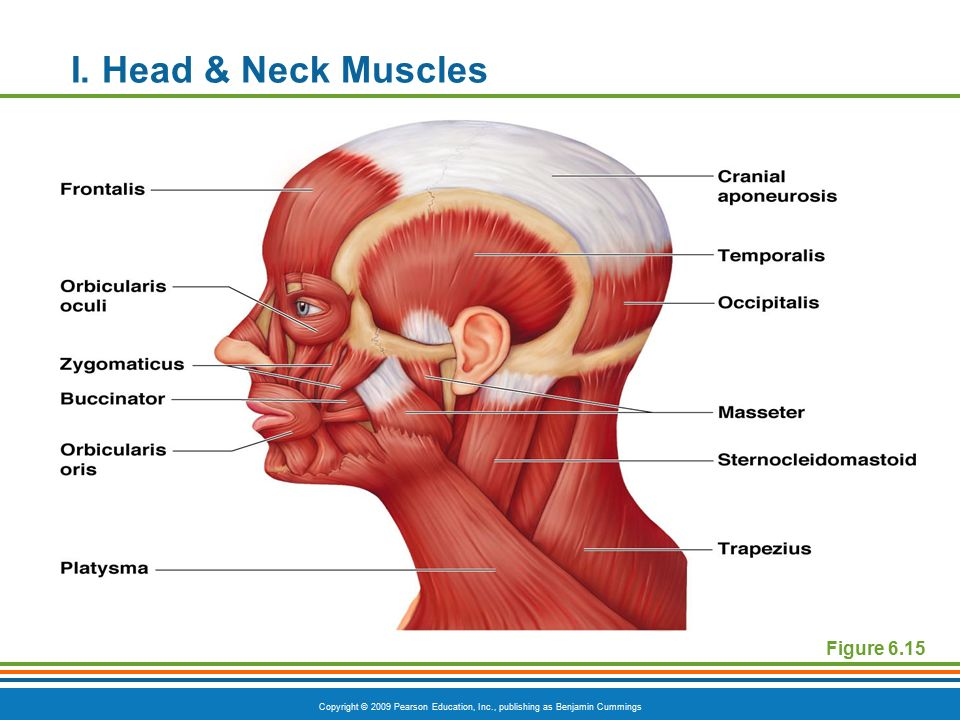Perfect Anatomy Of Head And Neck Muscles Ensign - Human Anatomy ...