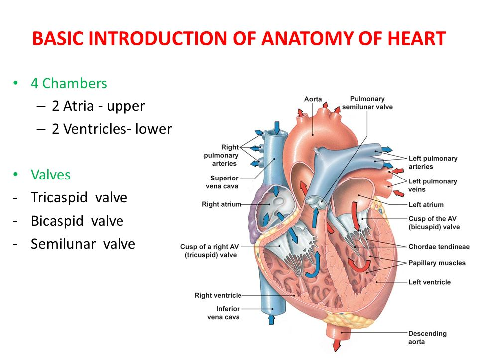 BASIC INTRODUCTION OF ANATOMY OF HEART - ppt video online download
