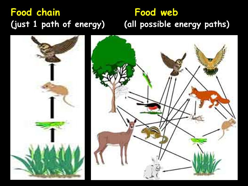 Energy Transfer And Energy Stored In A Food Web