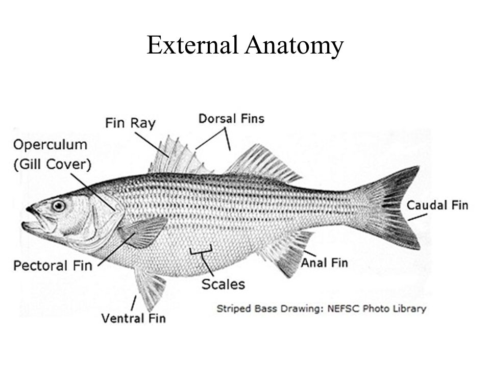 External Anatomy. - ppt video online download