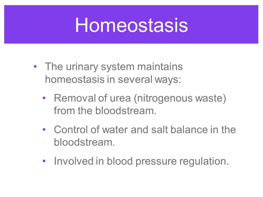 urinary homeostasis How does the digestive system maintain homeostasis  which help maintain homeostasis in this system 6 urinary system.