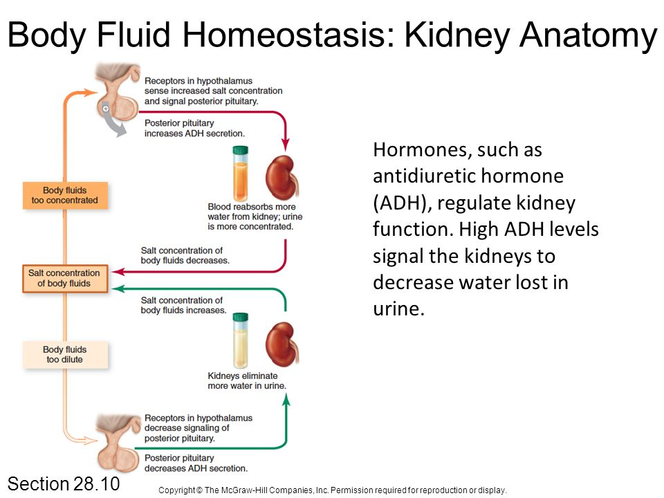 Role Of The Kidney In Fluid Homework Service Bressayrvhdofitworld