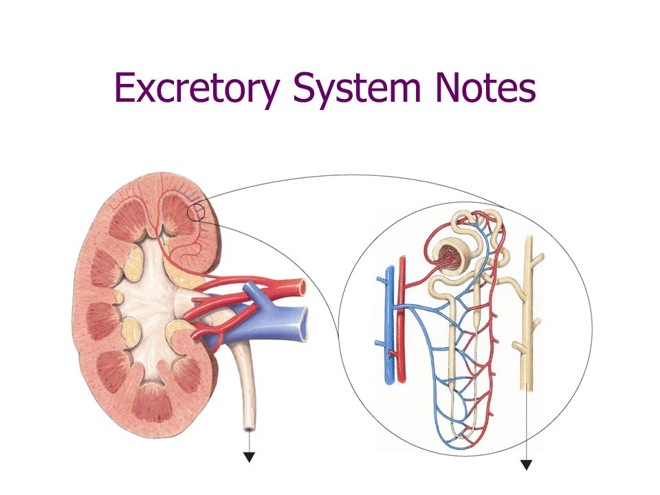 Excretory System Notes Ppt Video Online Download