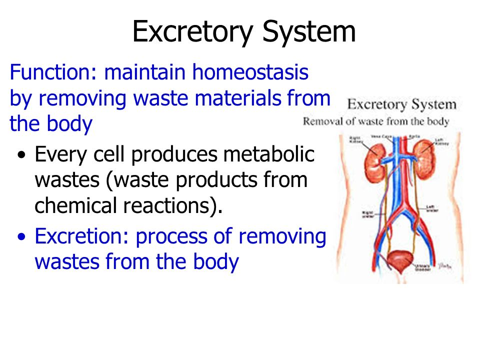 biology 12 urinary system study guide