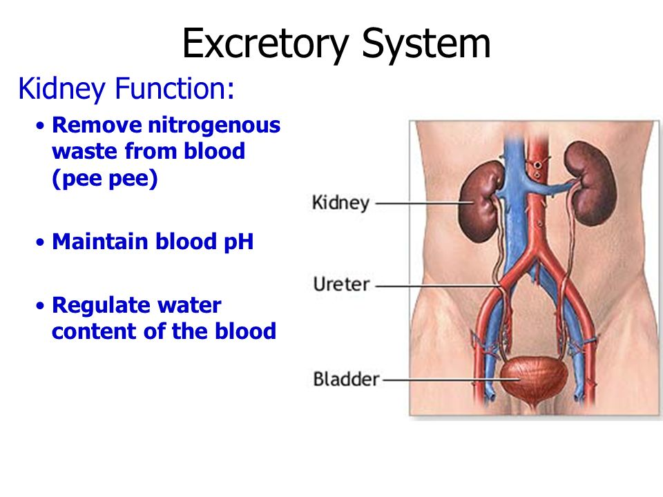 excretory system notes - ppt download, Cephalic Vein