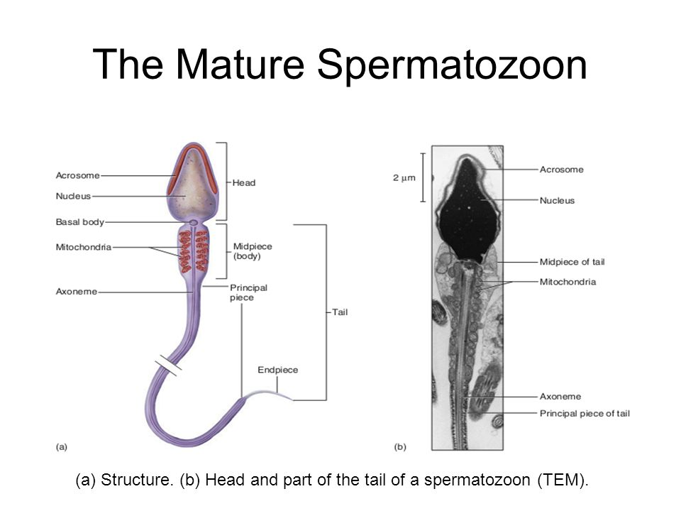 """Male Reproductive Physiology"""" Physiology Unit - ppt video online ..."""