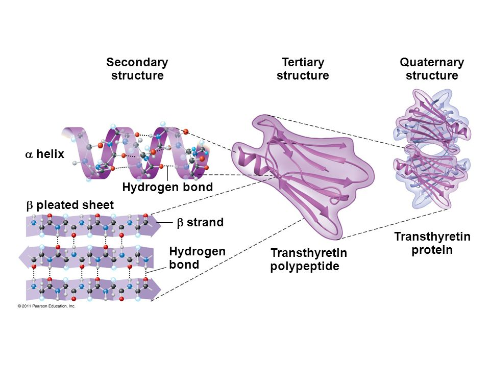 the structure and functions of proteins essay 31 questions and answers to learn proteins free review of protein structure and diversity, amino acids  some protein functions are worthy noting:.
