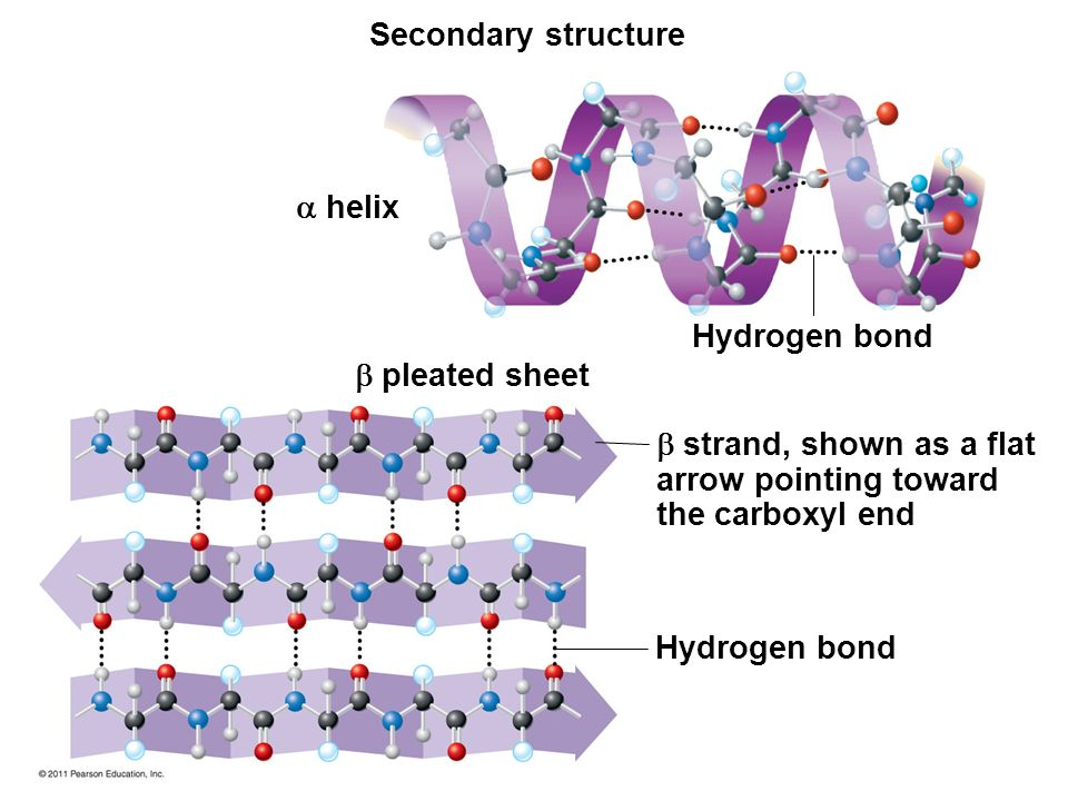 Alpha Helix And Beta Pleated Sheet The Structure and Func...