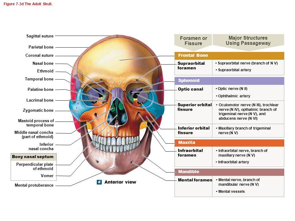 Atemberaubend Felsenbein Anatomie Bilder - Anatomie Ideen - finotti.info