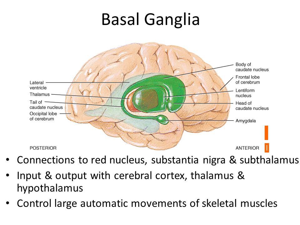 basal ganglia notes