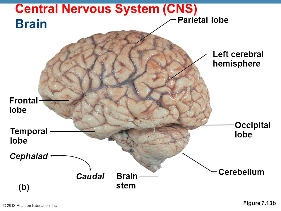 nervous system and brain stem The nervous system has two major parts: the central nervous system (cns) and the peripheral nervous system (pns) the central system is the primary command center for the body, and is comprised of the brain and spinal cord.