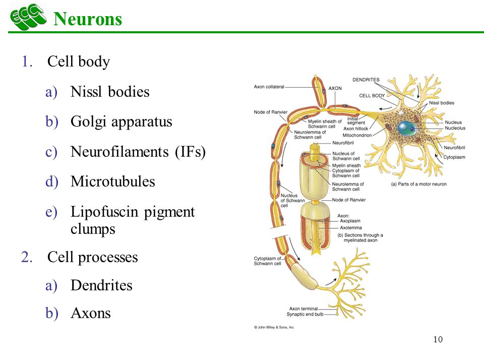 neuron cell body from - photo #38