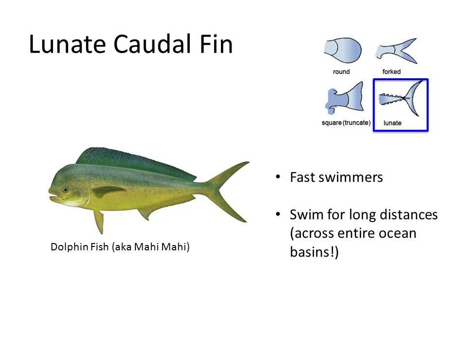 Fish form and function ppt video online download for What is the fastest swimming fish