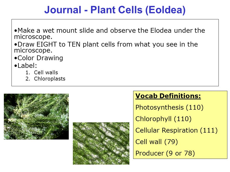 Elodea Leaf Diagram Shoot Tip Complete Wiring Diagrams