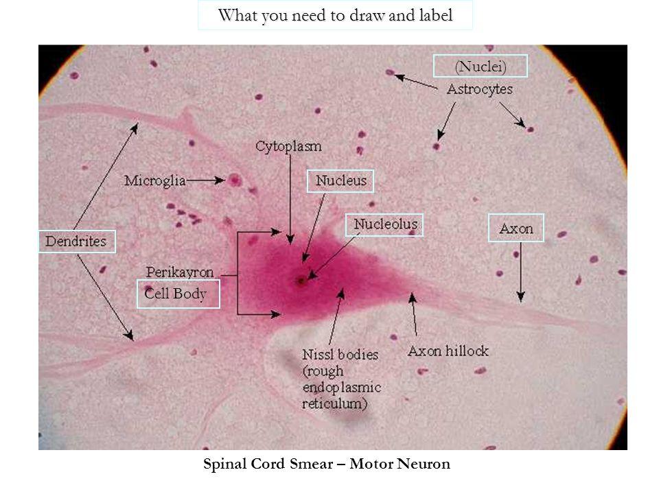 Nervous System Histology - ppt video online download